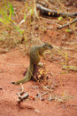 Free Tree Squirrel (Paraxerus Cepapi) Stock Images - 9820384