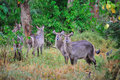 Free Waterbuck (Kobus Ellipsiprymnus) Royalty Free Stock Photos - 9820578