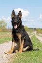 Free Young German Sheepdog Stock Photo - 9825580
