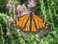 Free Monarch Butterfly Stock Image - 9826981