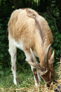 Free Goat Eating Grass Royalty Free Stock Image - 9829896