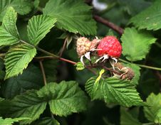 Free Raspberry Royalty Free Stock Image - 9820066