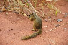 Free Tree Squirrel (Paraxerus Cepapi) Royalty Free Stock Photo - 9820425
