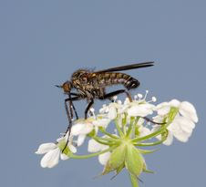 Free Dance Fly On A Flower Royalty Free Stock Images - 9820619