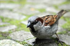 Free Sparrow, Sparrow Royalty Free Stock Images - 9820649