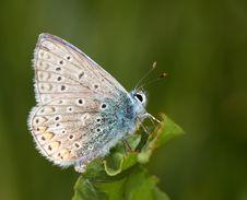 Free Polyommatus Icarus On A Green Leaf Stock Photo - 9820660