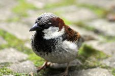 Free Sparrow Royalty Free Stock Images - 9820689