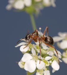 Free Little Ant On A White Flower Stock Photo - 9820710