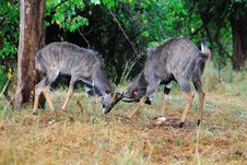 Free Nyalas (Tragelaphus Angasii) Royalty Free Stock Photos - 9820718