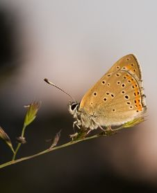 Free Copper Butterfly Stock Image - 9820721