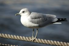 Free Seagull Stock Photography - 9820742