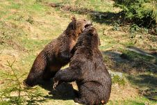 Free Brown Bears In Fight Royalty Free Stock Images - 9822139