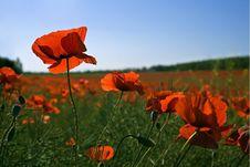 Free Poppy Field Royalty Free Stock Image - 9822546