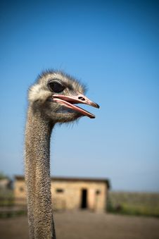 Free Ostrich Royalty Free Stock Images - 9823979
