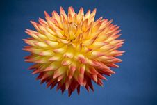 Free Dahlia Bloom On Blue Background Royalty Free Stock Images - 9824039