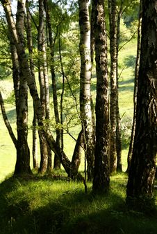 Free Birches Royalty Free Stock Photography - 9824757
