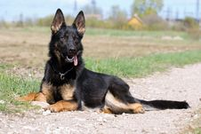 Free Young German Sheepdog Royalty Free Stock Photo - 9825555