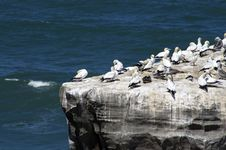 Free Gannet Colony Royalty Free Stock Images - 9826709