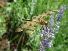 Free Dragonfly Royalty Free Stock Images - 9826939