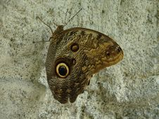 Free Golden Eye Butterfly Stock Photo - 9827000