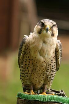 Free Falcon Stock Image - 9829901