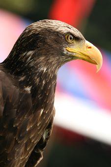 Free Falcon Royalty Free Stock Image - 9829906