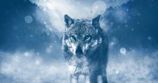 Free Wolf Predator Animal Royalty Free Stock Image - 98221816