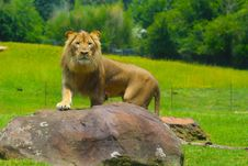 Free King-of-the-jungle Stock Photo - 98271600