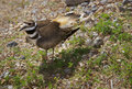 Free Killdeer Guards Her Eggs Royalty Free Stock Images - 9832999