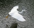 Free Snowy Egret Royalty Free Stock Photography - 9835307