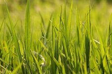 Free Grass Royalty Free Stock Photo - 9830245