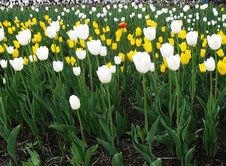 Free Yellow And White Tulips Royalty Free Stock Image - 9830916