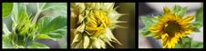 Free Triptych Of Sunflower Stock Image - 9831311