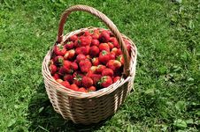 Free Red Strawberry Stock Images - 9831764