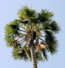 Free Palm Tree Royalty Free Stock Photo - 9832875
