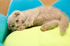 Free Scottish Fold Stock Photos - 9833053