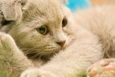 Free Scottish Fold Royalty Free Stock Image - 9833096