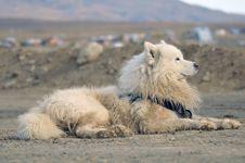 Free Samoyed Dog Royalty Free Stock Images - 9833409