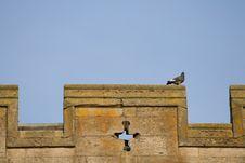 Free Parapet Pigeon Stock Images - 9833694