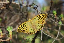 Free The Greater Butterfly Sits To A Branch Of A Pine Royalty Free Stock Photos - 9834168