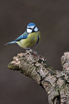 Blue Tit Sitting On A Branch Royalty Free Stock Photo