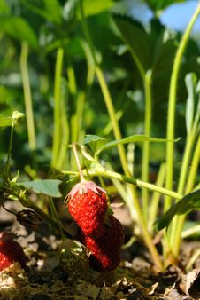 Free Strawberry Royalty Free Stock Image - 9834756