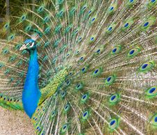 Free Peacock Stock Image - 9834901