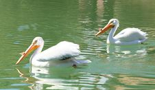 Free American White Pelicans Royalty Free Stock Photo - 9835275