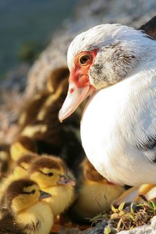 Free Mummy And The Chicks Stock Photo - 9835290