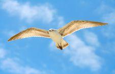 Free Ring-Billed Gull Royalty Free Stock Photo - 9835315