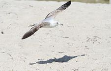 Free Ring-Billed Gull Stock Photos - 9835323