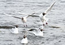 Free Black-Headed Gulls Royalty Free Stock Image - 9835336
