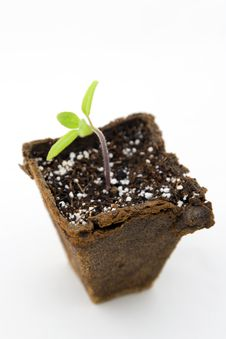 Tomato Seedling Stock Image