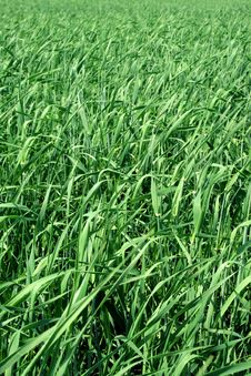 Free Grass Royalty Free Stock Photography - 9836367